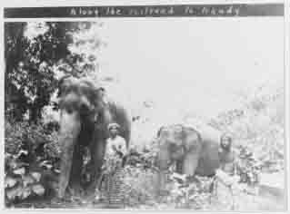 Elephants at work along the railroad, during the Fleet's visit to Ceylon in December 1908.